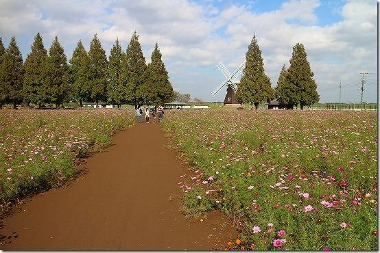 あけぼの山農業公園のコスモス畑(柏市)