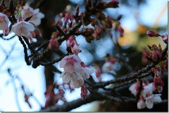 宮地岳神社の開運桜