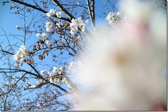 室見川の桜 with EOS M3