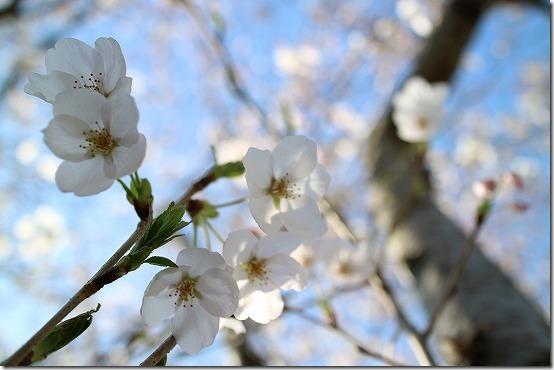 室見川の桜