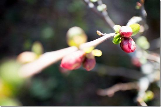 春の庭の花 ボケ