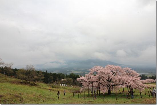 南阿蘇 観音桜 満開でした!!