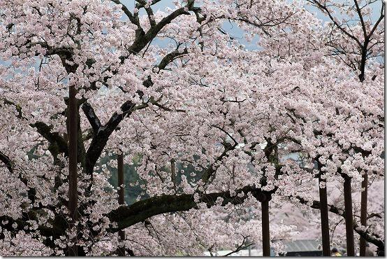 南阿蘇 観音桜 満開
