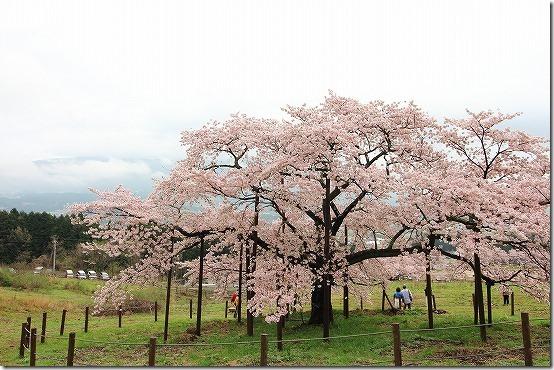 南阿蘇 観音桜