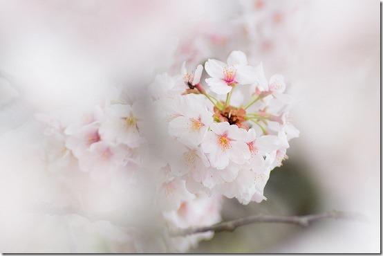 南阿蘇 観音桜 ピンク色で綺麗