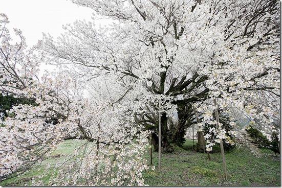 一心行の大桜と白川水源でカフェ SOSUI