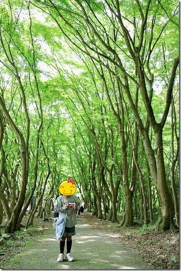 河内藤園のカエデの新緑