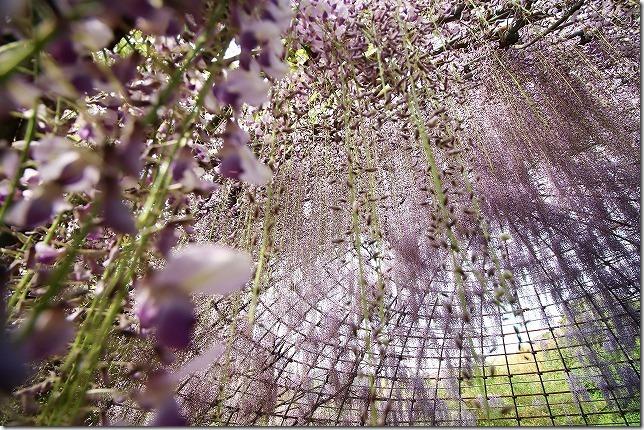 河内藤園 藤のドーム