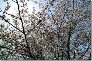 かりお茶屋の山桜