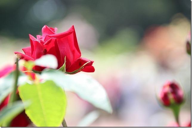 福岡市動植物園のバラ