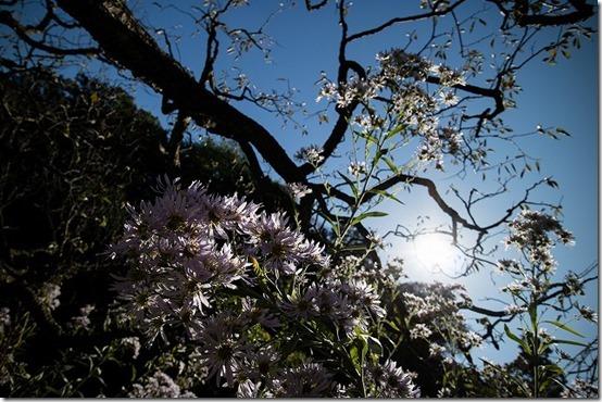 北鎌倉 東慶寺のお花 紫苑