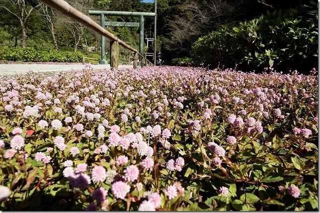 建長寺 半僧坊の姫ツルソバの花