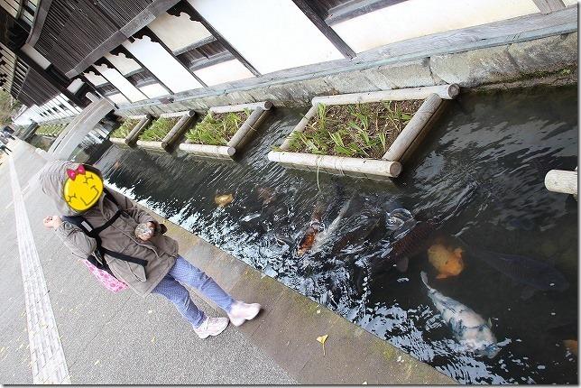 津和野 殿町の鯉