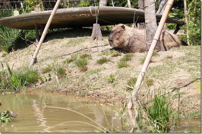 ときわ動物園、水辺のカピパラ