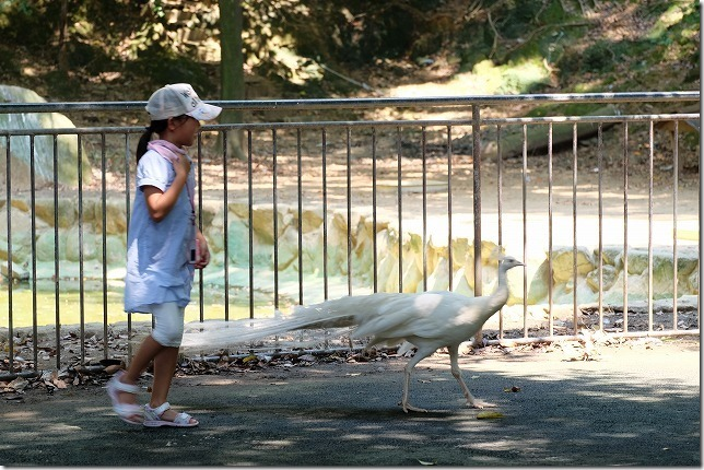 大牟田動物園の白孔雀