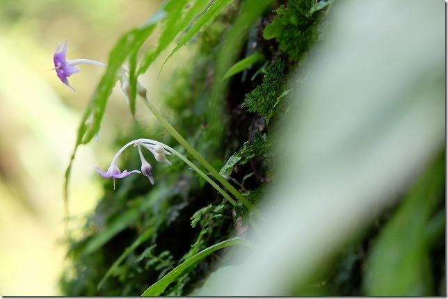 岳切渓谷の花