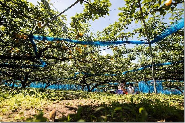由布市庄内の小野農園の20世紀の梨狩り