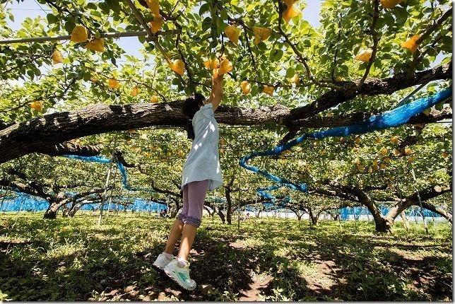 由布市庄内の小野農園で梨狩り