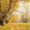 広川町のイチョウ畑の紅葉