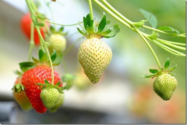 よかもんいちご、イチゴ種類あまおう(福岡浮羽)