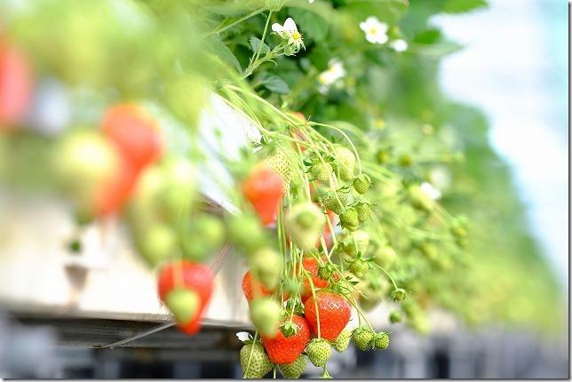 よかもんいちご、イチゴ種類アスカルビー(福岡浮羽)