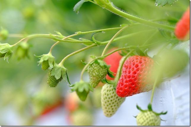 よかもんいちご、イチゴ種類章姫(福岡浮羽)