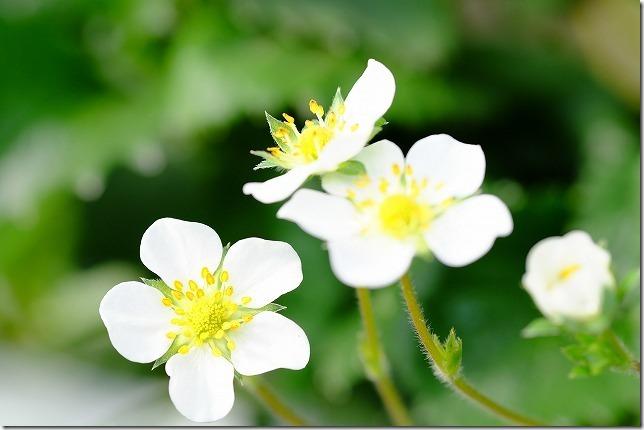 よかもんイチゴの花