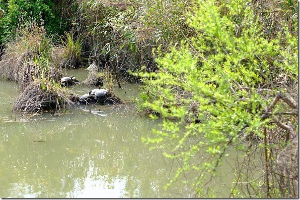 徐福サイクリングロード沿いの池の亀