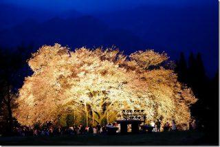 阿蘇 一心行の大桜がライトアップと桜吹雪 2017