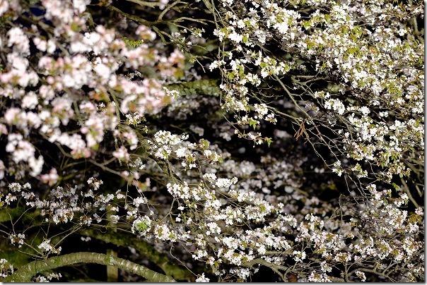 阿蘇一心行の大桜のライトアップ