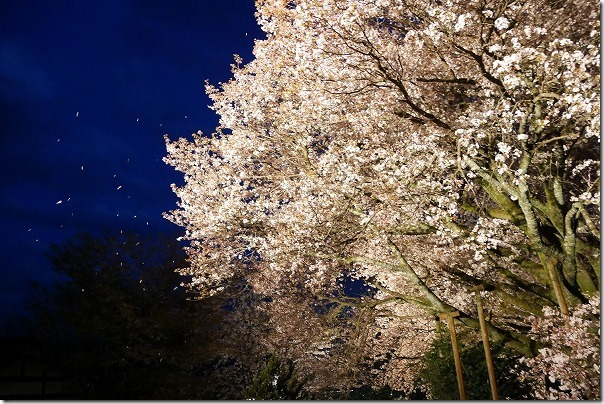 阿蘇一心行の大桜の桜吹雪