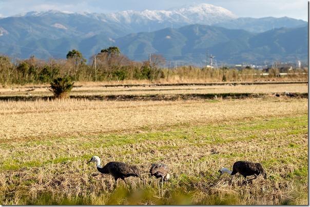 鹿児島出水のツルと雪山