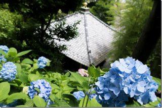 長谷・極楽寺のあじさい巡りの散策(鎌倉6月)