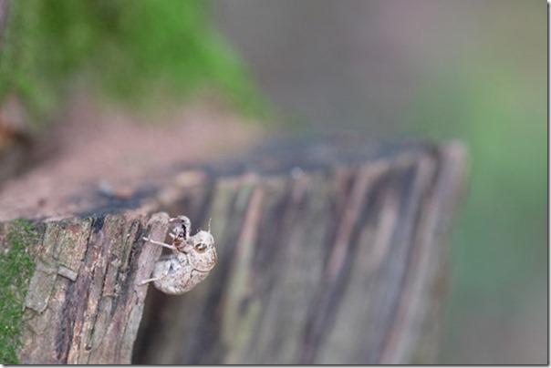 篠栗九大の森の蒲田池のセミの抜け殻