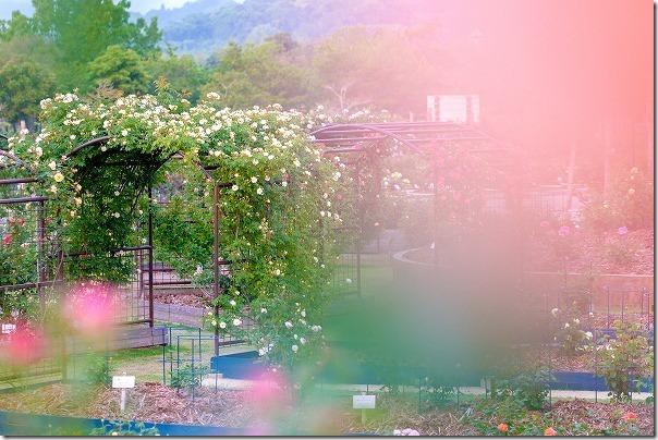 水俣ローズフェスタ、たくさんのバラ