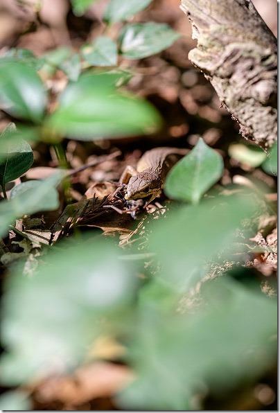 篠栗九大の森の蒲田池のトカゲ