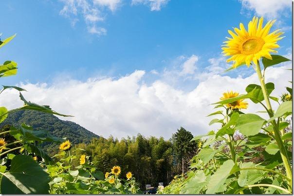 佐賀県みやき町の山田ひまわり園,開花状況11月頭