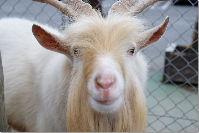 トリアス久山、触れ合い動物園のヤギ