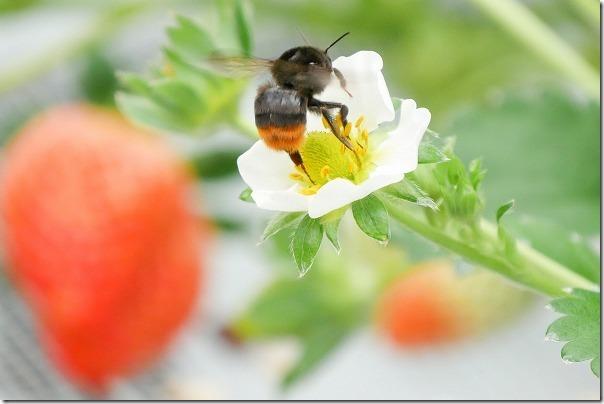花立山ファームへイチゴ狩り、クロマルハナバチ