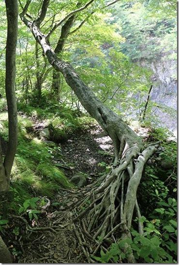 龍王峡で頑張る木