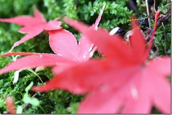 本土寺の紅葉 コケと紅葉
