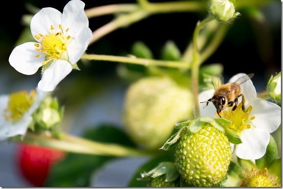 いちご狩り 蜂