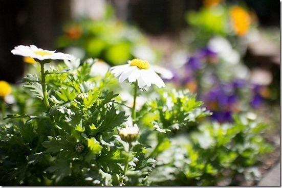 春の庭の花 ノースボール