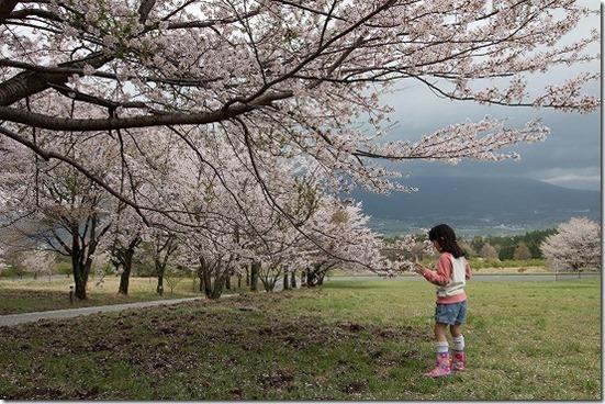 アスペクタ桜公園 の 桜満開