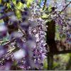 新緑のくじゅうツーリング 山田SAの藤を見て「くじゅう」へ
