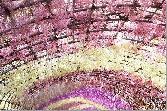 河内藤園の色とりどりの藤