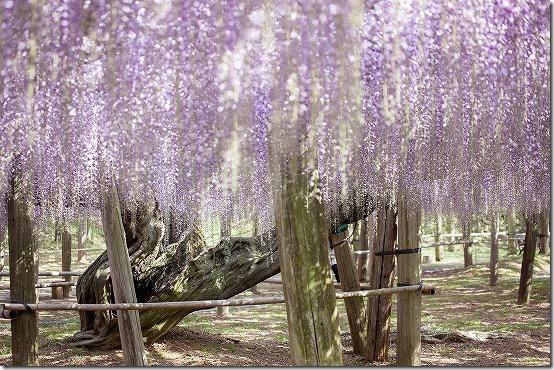 河内藤園の藤の幹