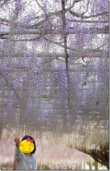河内藤園の藤棚