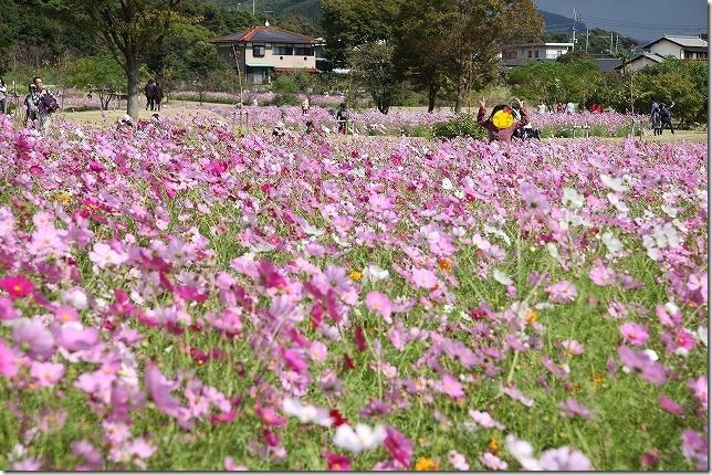 金立公園 コスモス畑