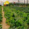 イチゴ狩りをクーポン利用で格安で 福岡でたくさんの種類のイチゴとトマトを頂く(平井観光農園)